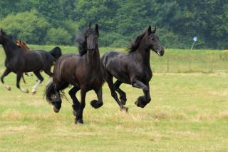 MA36-fria hästar